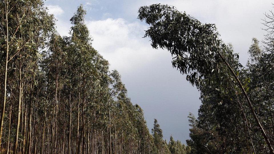 Ribadeo comienza a talar de forma subsidiaria eucaliptos próximos a viviendas